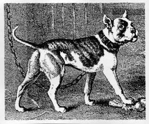 1800'sbulldog